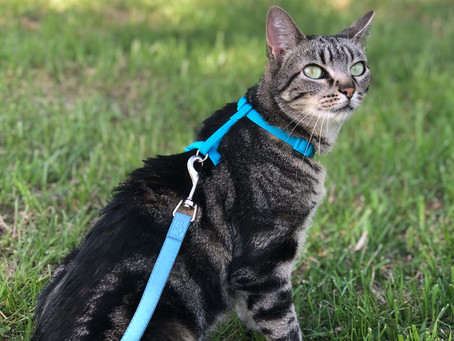 How To Harness Train Your Cat The CatBoss Way