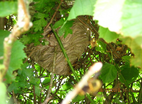 Wasp nest in a hedge