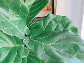 How To Care For Fiddle Leaf Fig AKA Ficus lyrata