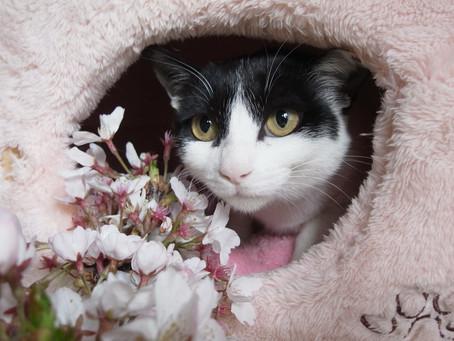 外猫さくらちゃん奮闘記 その14:4月1日、さくらと桜