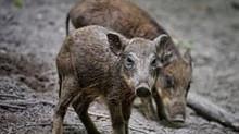 Torrelodones cambia de criterio en la gestión de la fauna salvaje