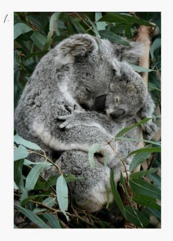 Cuddly Koalas, mama and baby koala in the wild cuddling.