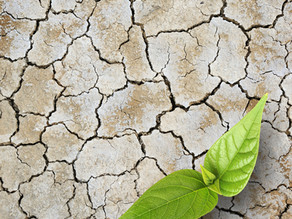 This study shows soil microbes help plants cope with drought