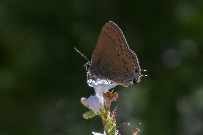 Close-up photo of a live Hedgerow Hairstreak butterfly