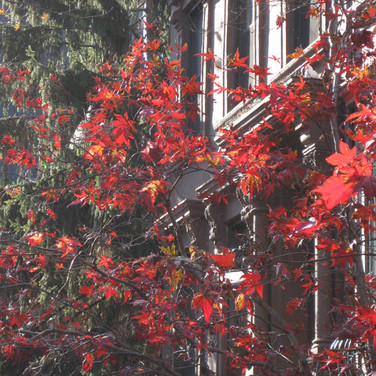 Meridith McNeal, Tree turning red in my neighborhood.