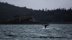 A whale's fluke (tail) juts out of the water near Juneau in Alaska