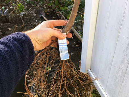Bare Rooted Trees are Available Once Again!