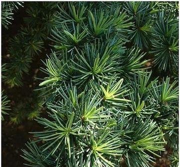 Cedar tree bristles