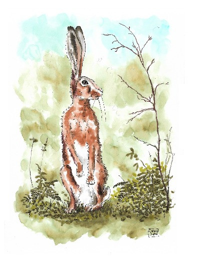 Hare standing on his hind legs - watercolour illustration