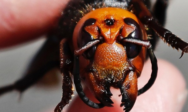 Bug Hunters in Washington State Locate First Giant Asian 'Murder Hornets' Nest in the US