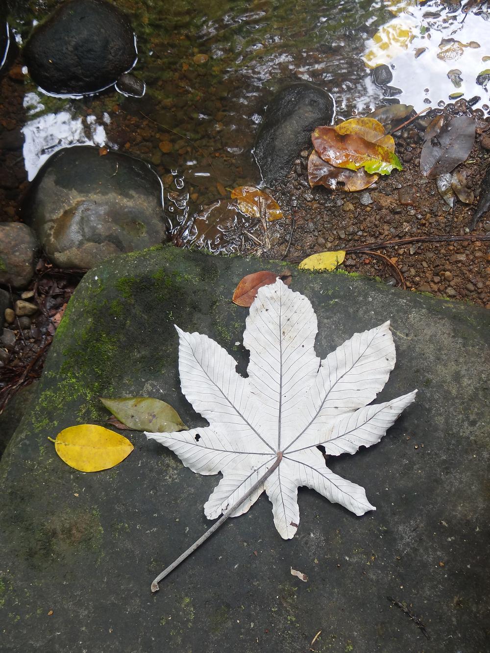 feuilles guadeloupe sentier randonnée de la cascade tambour