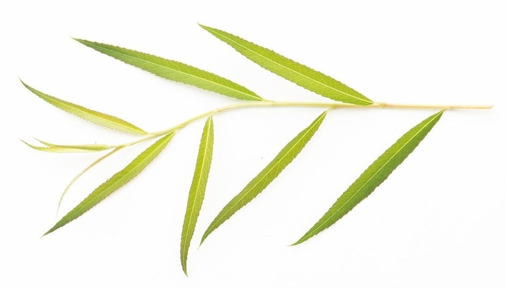 willow tree leaf