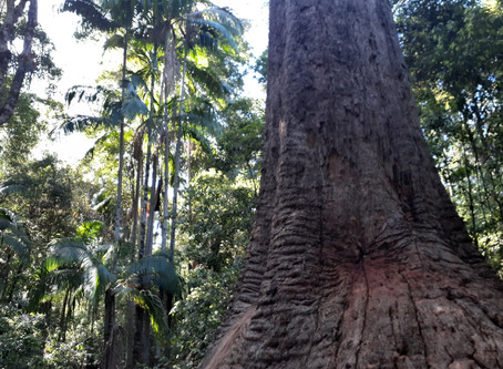 Giant Ancient Trees, Soils Potential, Biodiversity and Our Future