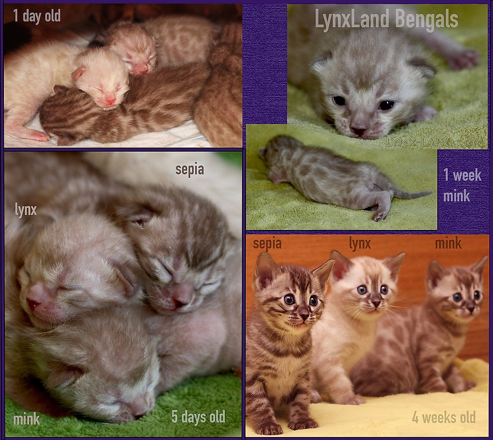 Lynxland Bengal kittens - snow charcoal mask development