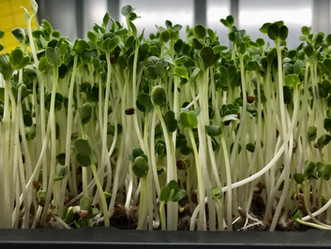 How to Grow Microgreens: A Beginners Guide