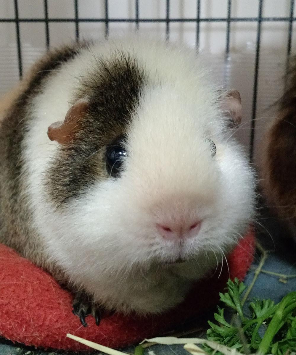 Cute little guinea pig!