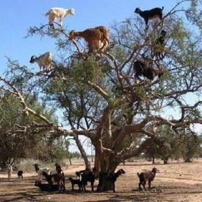 Les arganiers au Maroc