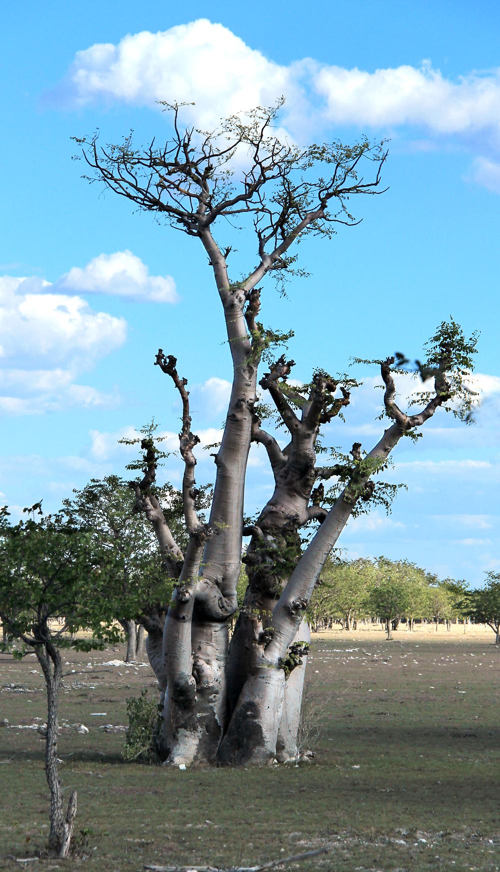 Affenbraum im Etosha Nationalpark