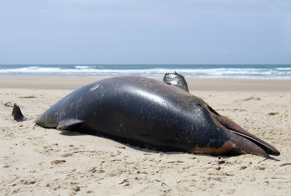 dauphin échoué , drame maritime , carcasse