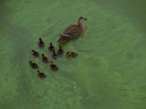 Ducks Returned