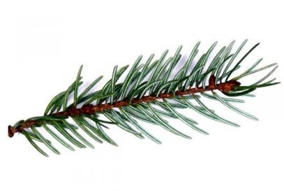 Single needle evergreen spruce christmas tree