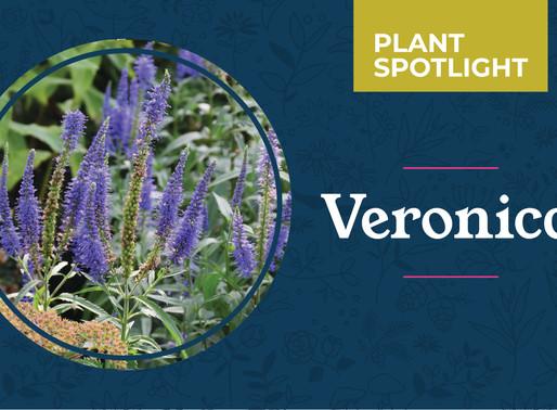 Plant Spotlight: Veronica