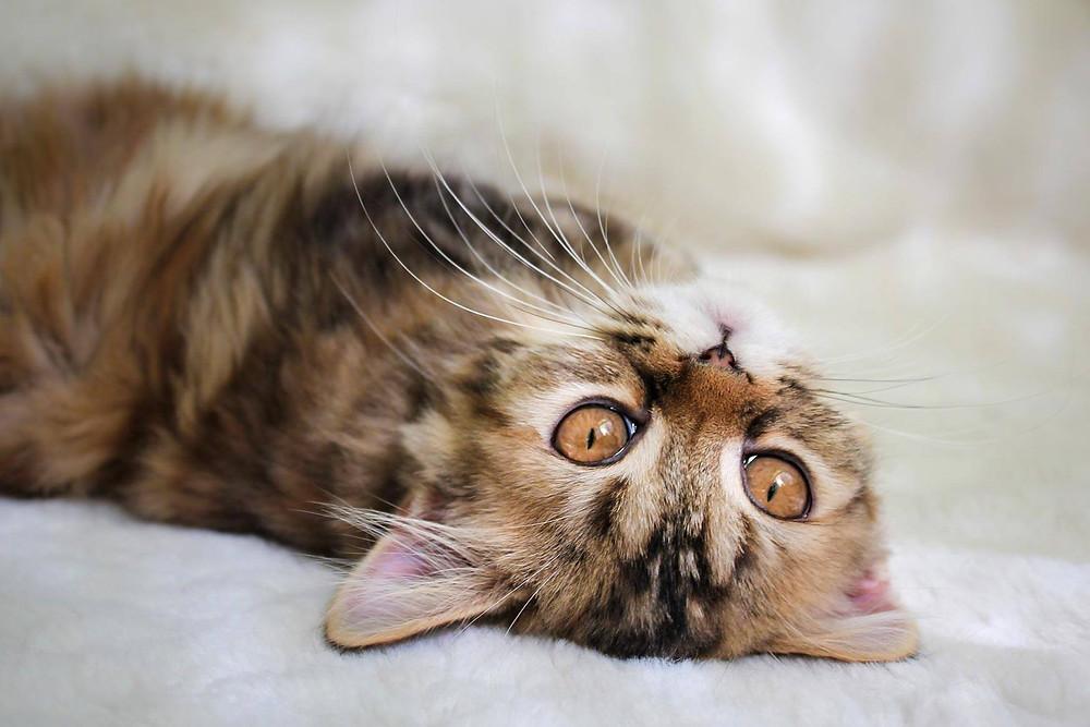 Шотландская кошка, котенок, скоттиш страйт