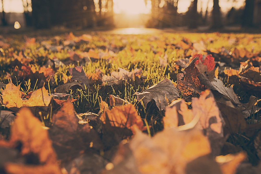 leaves on lawn in sunset