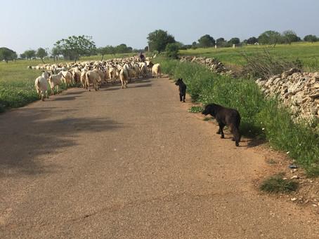 Capre e pecore - Ziegen und Schafe