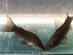 Tamboata (Callichthys callichthys)