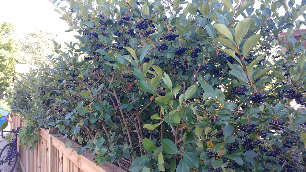 Aronia berry hedge