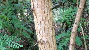 Mais un robinier ou faux acacia, qu'est-ce que c'est ?