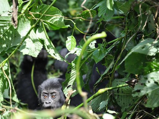Uganda celebrates 25 years of gorilla conservation through tourism