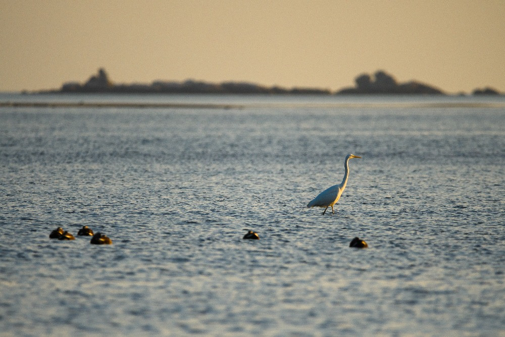 ダイサギ / Great egret