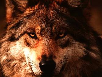 A farkasokat nem érdekli, hogy mit gondolnak róluk a birkák
