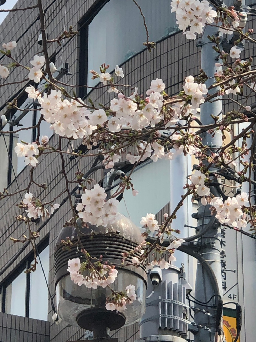 九品仏川緑道の桜(2019.3.25撮影)