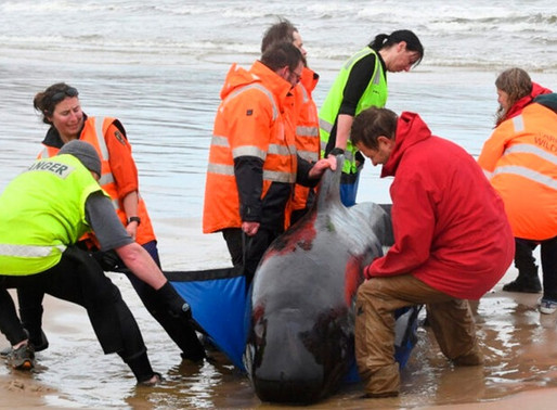 Alrededor de 500 ballenas se encuentran varadas en Australia