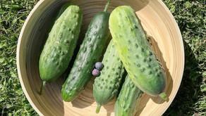 DIY Refrigerator Pickles