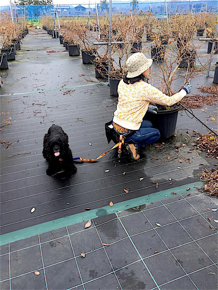 高島ブルーベリーファームの看板犬トト