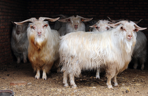 cashmere, goats, soft, natural