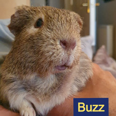 Buzz, the guinea pig with a lump.