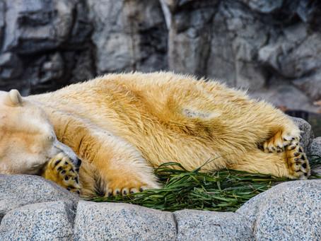 Dormir comme un ours en hiver