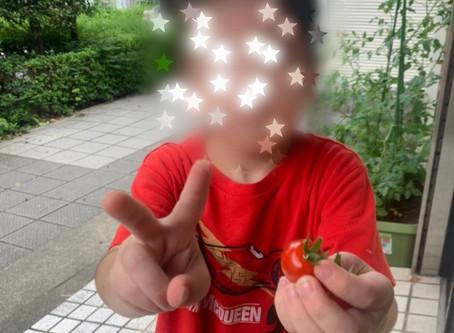 7月15日 灘区 トマト収穫