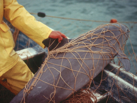 Tragedias del especismo: la vaquita marina está por extinguirse