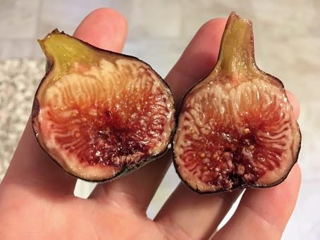 My Favorite Early Fig Varieties
