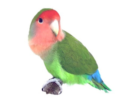 Our lovebird paper is out in Molecular Biology Reports!