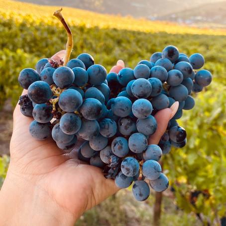 Vinhos de Portugal: história, tradição e muito sabor