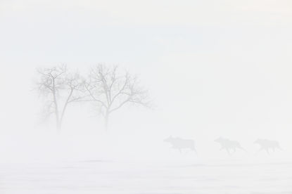 Blizzard Cows.jpg