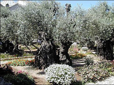 Minister's Monday Moment - 2,000 year old olive trees