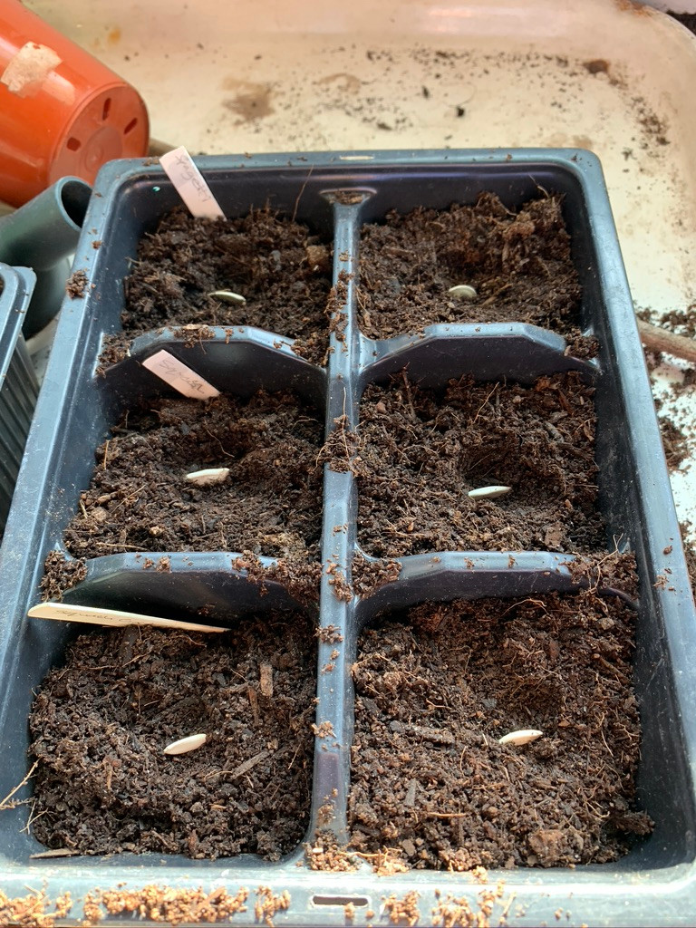 Squash and courgette seeds sown on their sides